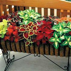 mixed Coleus plant, idea, yard, color, outdoor, wizard, garden, coleus, flower