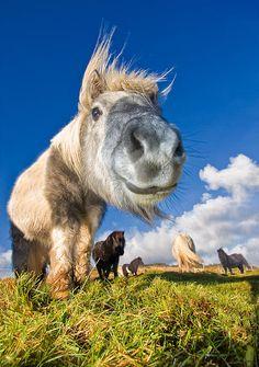 Field of Shetland ponies