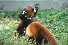 Panda pounce! redpanda, red pandas, critter, play, cutest animals, creatur, attack, ador, thing