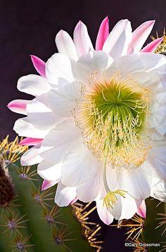 Desert Bloom    A bloom adorns spring cactus in Arizona near Phoenix.