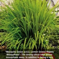 Mosquito repelling plant