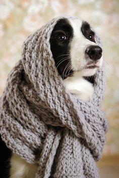 hehe. the border collie infinity scarf border collies, anim, colli beauti, doggi, daisies, bordercolli, scarves, colli puppi, little cottages