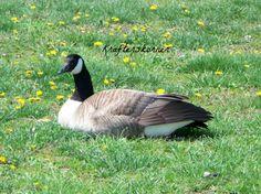 4 x 6 Photo Print Canada Goose Resting on Grass by krafterskorner, $1.99