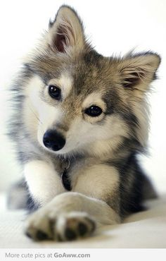 Miniature Siberian Husky - I want!