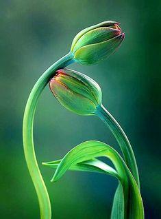 Green. Tulip Kiss
