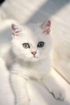 stunning white cat! #kitty #kitten