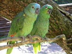 Blue Crowned Mealy #Amazon #Parrots.