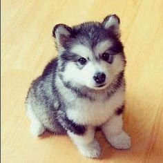 Pomsky- half Pomeranian half husky. I WILL get this dog someday! Adorable!