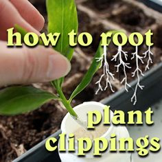 .growing from plant clippings