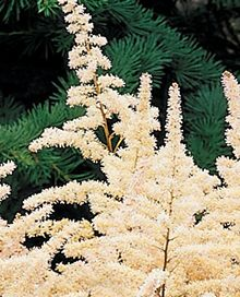Bridal Veil Astilbe $5.99 each when you buy three or more. you would need 20-30