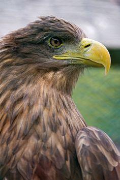 ☀Close profile of a brown bird of prey by Tambako the Jaguar**