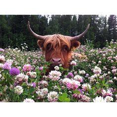 animal pics, funny animals, story books, scottish highlands, funny animal pictures, funny pictures, ferdinand, children books, flower
