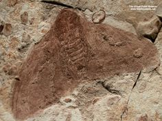 Large Lower Cretaceous Lepidoptera (moth) Fossil from Liaoning Province of China