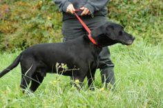 Bobby Type : Chien croisé Sexe : Mâle Age : Senior Taille : Grand  Bobby est né en 2002. C'est un chien calme mais encore bien en forme. Son numéro de dossier est le 203318. REFUGE SPA MME ROGER BUTET - LUYNES(Indre-et-Loire) Tél : 02 47 42 10 47