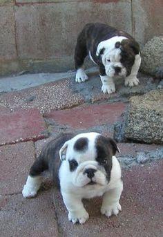 Aaand more bulldogs...