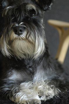 Adorable black and silver mini Schnauzer, what a sweet face