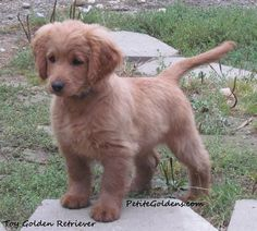 OMG I WANT THIS DOG!!!  It's a Petite Golden (I believe it's a cocker spaniel and golden retriever mix) and they stay this size!!! I love it!!!