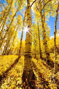 Colorado Aspens; photo by David Kingham