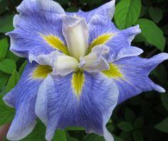 Iris (Iris ensata 'Blues Revisited') uploaded by PollyK