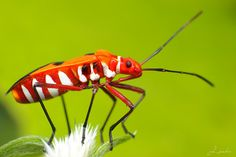 """animalworld:  RED COTTON STAINER BUG (Dysdercus Cingulatus-Fabricius) -  ©j_aubz Pyrrhocoridae is a family of insects with more than 300 species world-wide. A common species in the American South where they are known as """"red bugs"""" A common species in parts of Europe is the firebug  They are part of the order Hemiptera which are also known as the 'true bugs' A few are important crop pests.  They are called cotton stainers because  their red bodies get crushed along with the cotton they eat ..."""