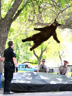 Bear falls safely from tree after police tranquilized it at Colorado University in Boulder. memes, anim, trampolines, funni, bears, colorado, wildlife, trees, bear fall