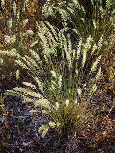 Koeleria macrantha. Zone 4. Grows to 1-2 feet.