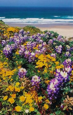 wildflowers at the beach - Point Reyes National Seashore California