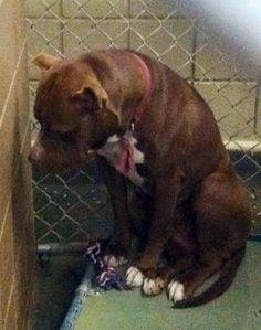 Saddest owner surrender ever  Cocoa is a 1.5 yr old Pittie surrendered due to her owner not being able to care for her. She is reportedly housebroken and good with kids and animals. Her heart is broken. — at Jefferson Parish Animal Shelter in Louisana...she desperately needs a foster or adopter! please help!