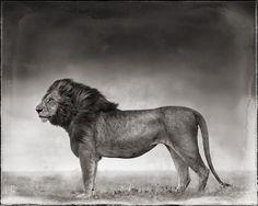 PORTRAIT OF LION STANDING IN WIND, MASAI MARA 2006