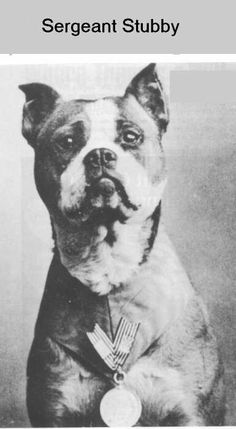 Battle weary hero with medal for bravery...Sgt. Stubby.  17 Battles.  Captured German spy.  Nearly killed by nerve gas; he was able to alert soldiers to its presence. anim, soldiers, heroes, dogs, sergeant stubbi, war dog