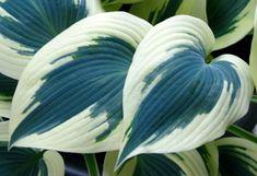 'Blue Ivory'