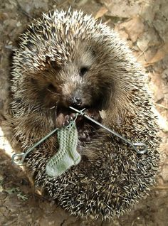 Hedgehog knitting a sock.