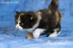 Warren...I would like you to see these teacup Persian cats...in case the pig doesn't work out. So tiny!