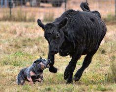 #Sydney - Australian Cattle Dog  ...  Like,Repin,Share, Thanks!