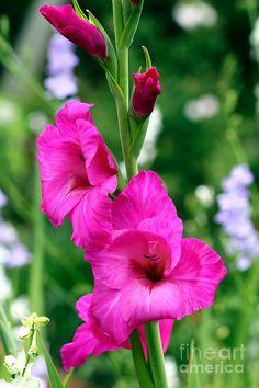 ✯ Gladiolus