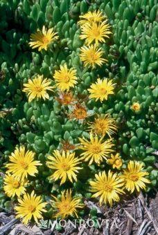 Yellow Ice Plant - Monrovia - Yellow Ice Plant