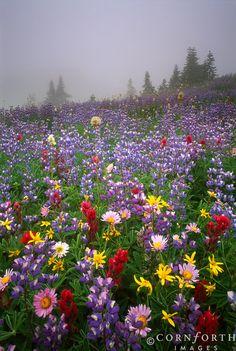 Wildflower Mist Mount Rainier National Park, Washington
