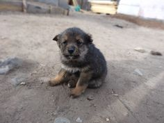 MONGOLIAN FOUR-EYED DOG/MONGOLIAN MASTIFF