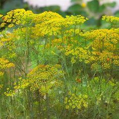 Use Dill's seeds, flowers, and foliage to season foods. More easy-to-grow herbs: http://www.bhg.com/gardening/vegetable/herbs/easy-to-grow-herbs/?socsrc=bhgpin100813dill&page=3