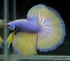 Beautiful Images for beta fish. ♥♥ | See More Pictures