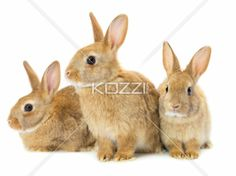 three brown rabbits - Three brown rabbits isolated on white