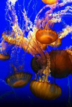 Ocean Jellyfish