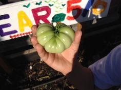 Cassie Liversidge- green tomato