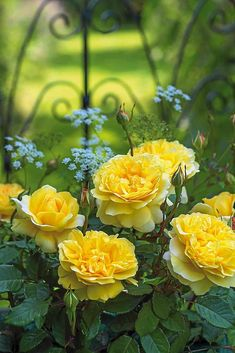 'The Poet's Wife' - new yellow English rose