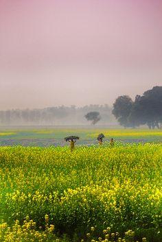 Mustard Fields in India