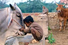 animals, friends, heart, cow boys, holy cow, children, india, photo challeng, little boys