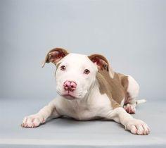 Mila the Pit Bull pit bull, puppi bowl, dog art