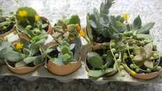easter egg succulents