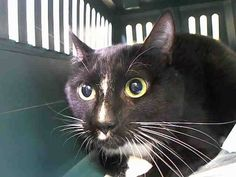 TO BE DESTROYED 8/21/14 ** Mr. Man has a medium level  energy and was described to be playful, shy (around new people) mellow,  friendly, affectionate, and quiet. ** Manhattan Center  My name is MR MAN. My Animal ID # is A1010539.  I am a male black and white domestic sh mix. The shelter thinks I am about 3 YEARS old.   I came in as a OWNER SUR on 08/14/2014 from NY 10462,  PETS CONFL.