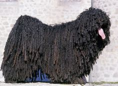 Black Puli - small Hungarian sheep dog. The tongue is how you tell which end is which.